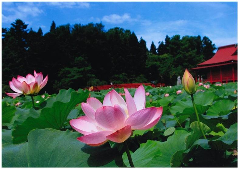 猿賀公園の蓮の花 | 平川市観光協会