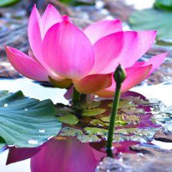 平川市蓮の花まつりフォトコンテスト