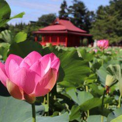 猿賀公園蓮の花シーズン中の駐車場について