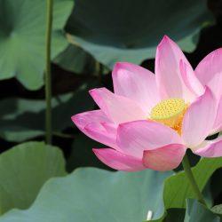 【8月23日更新】2020年猿賀公園蓮の花開花状況